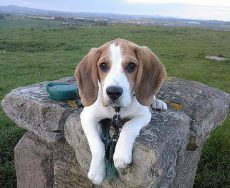 Cameron & Greig Veterinary Surgeons |Photo Gallery | A georgous Beagle pup
