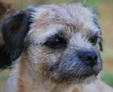 Cameron & Greig Veterinary Surgeons |Photo Gallery | Border Terrier, Brillo