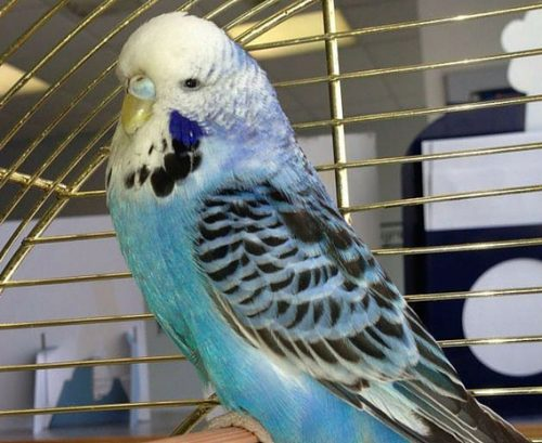 Cameron & Greig Veterinary Surgeons |Photo Gallery | A budgie