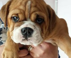 Cameron & Greig Veterinary Surgeons |Photo Gallery | Kaaz the Bulldog