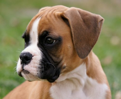Cameron & Greig Veterinary Surgeons |Photo Gallery | A beautiful Boxer pup